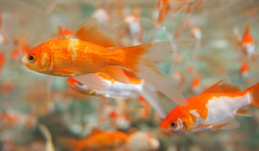 KISS the Video-Course: Videobasiertes Lernen – nicht nur für Goldfische